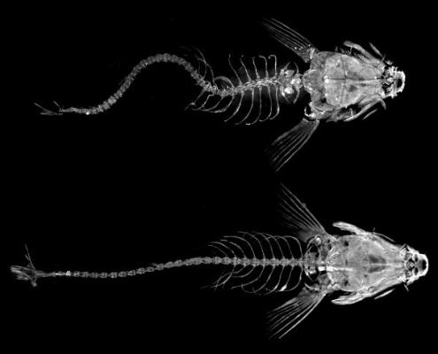 sistema immunitario e scoliosi idiopatica - pesce zebra
